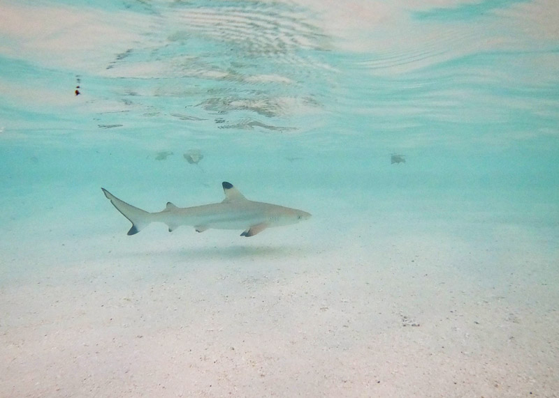 Black tipped sharks in Maldives at Conrad Maldives Rangali Island