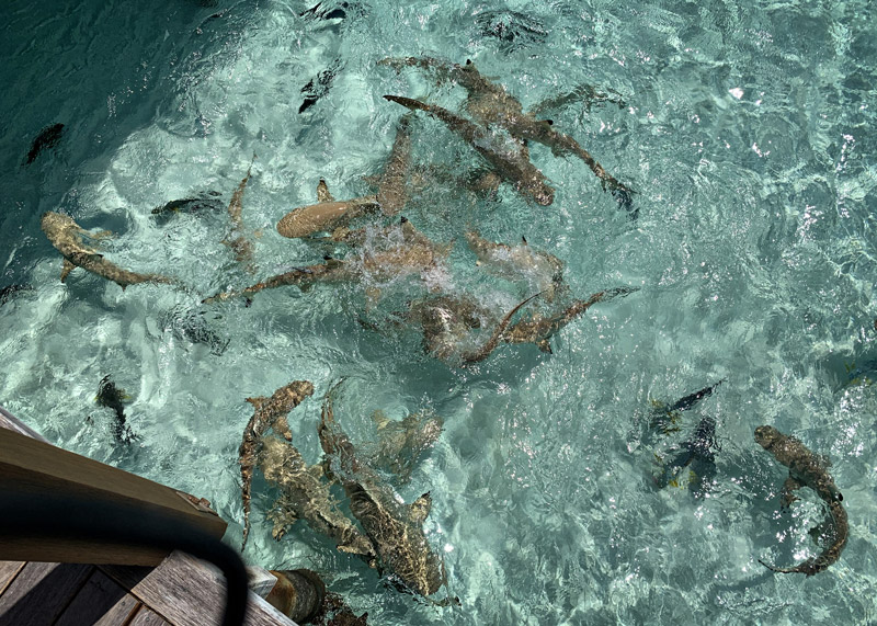 Feeding frenzy from black-tipped sharks in the Maldives at Conrad Rangali Island