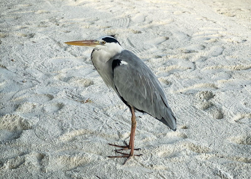 Grey heron at Maldives Conrad Rangali Island